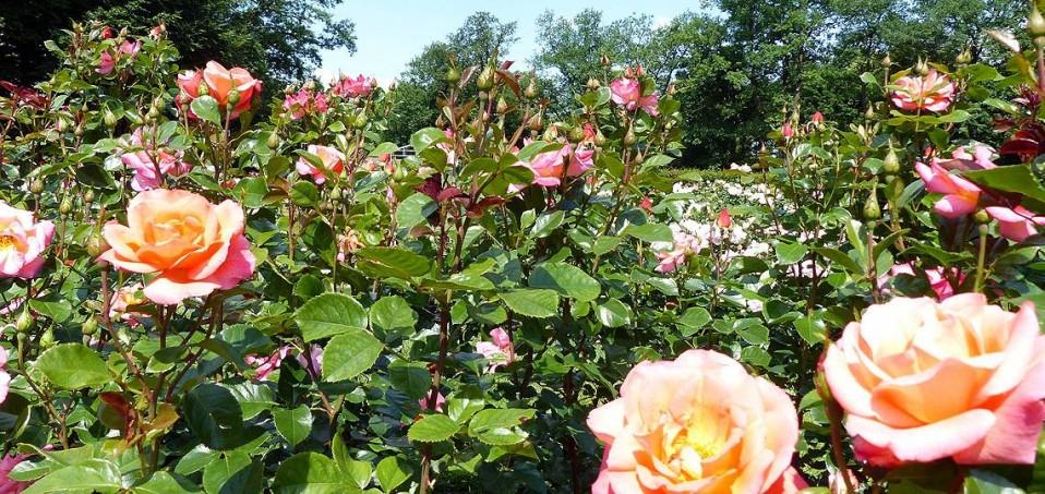 Im Rosengarten von Forst