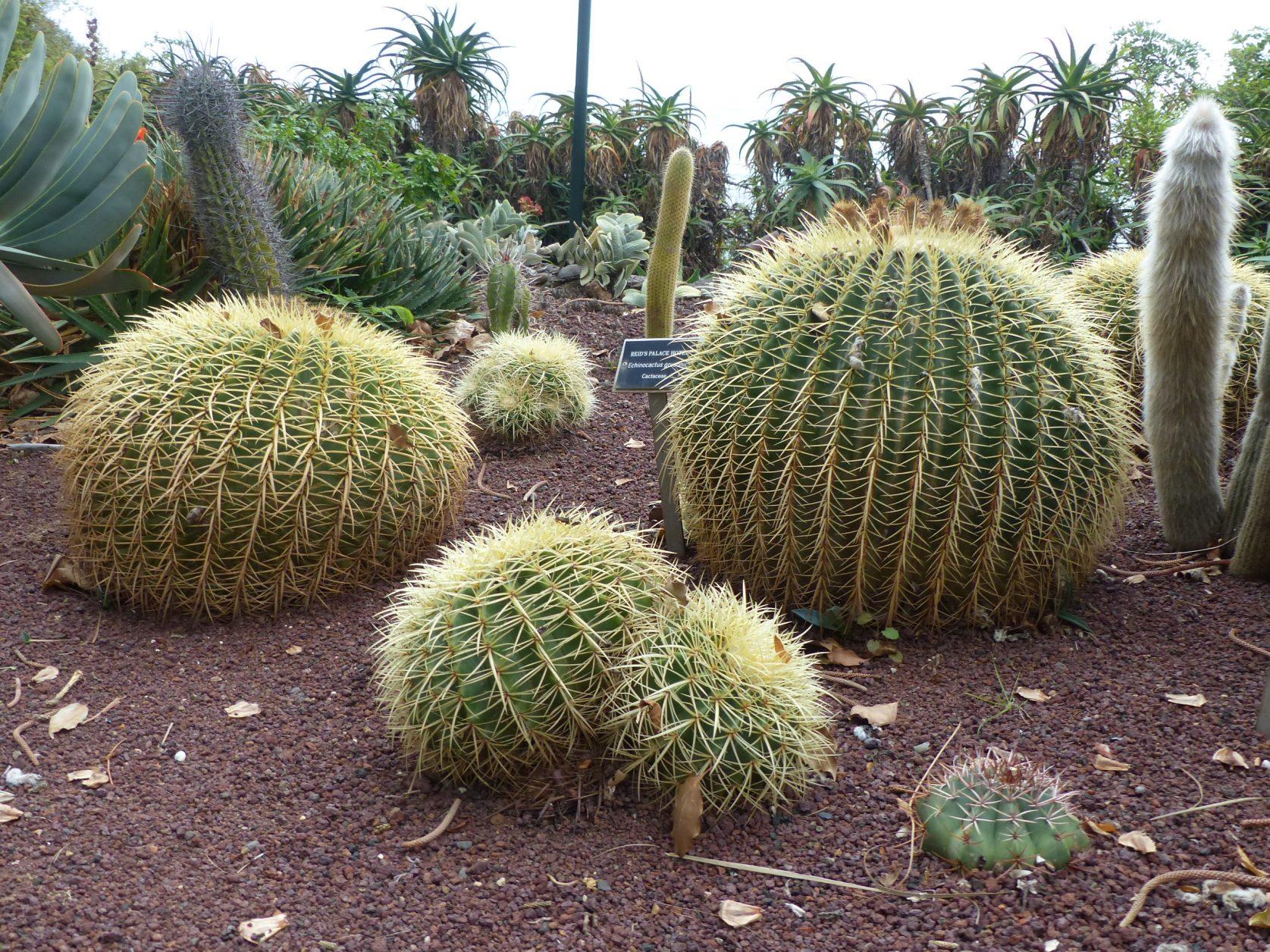 """Der Echinocactus grusonii, auch """"Goldkugelkaktus"""" oder """"Schwiegermutterstuhl"""" gennant, im Park des Nobelhotels Reids. Foto: D. Weirauch"""