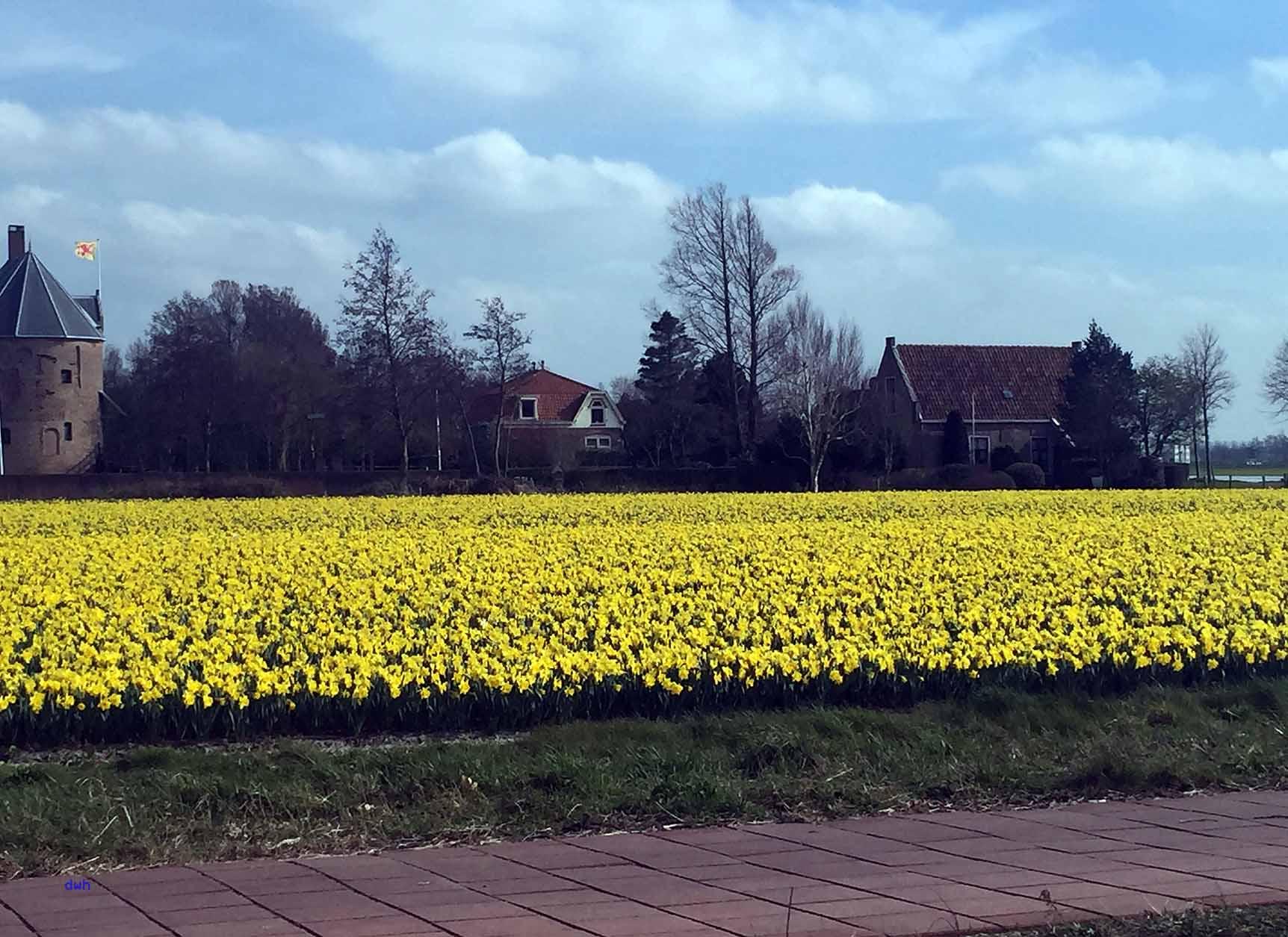 Narzissen in der Nähe des Keukenhofs, Foto: D.Weirauch