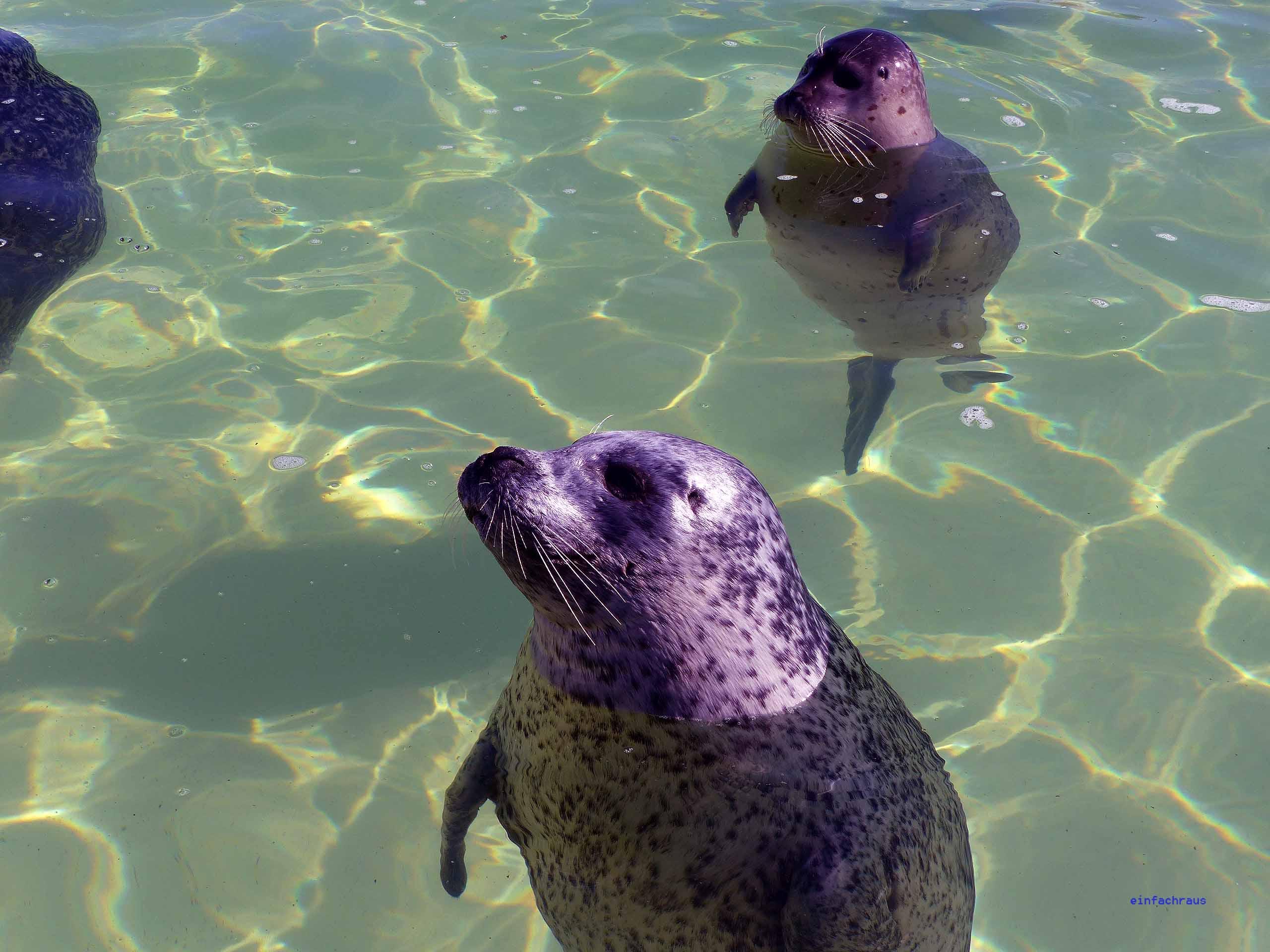 Man sieht Seehunde im Wasser