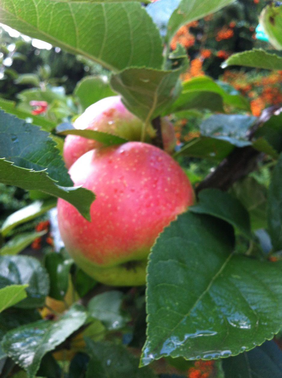 Äpfel (2)