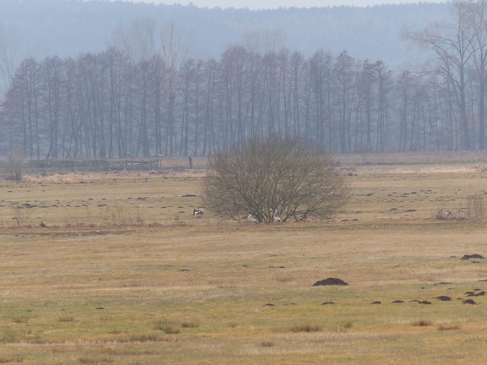 Gut getarnt in der Belziger Landschaft sind die Großtrappen Foto: Weirauch