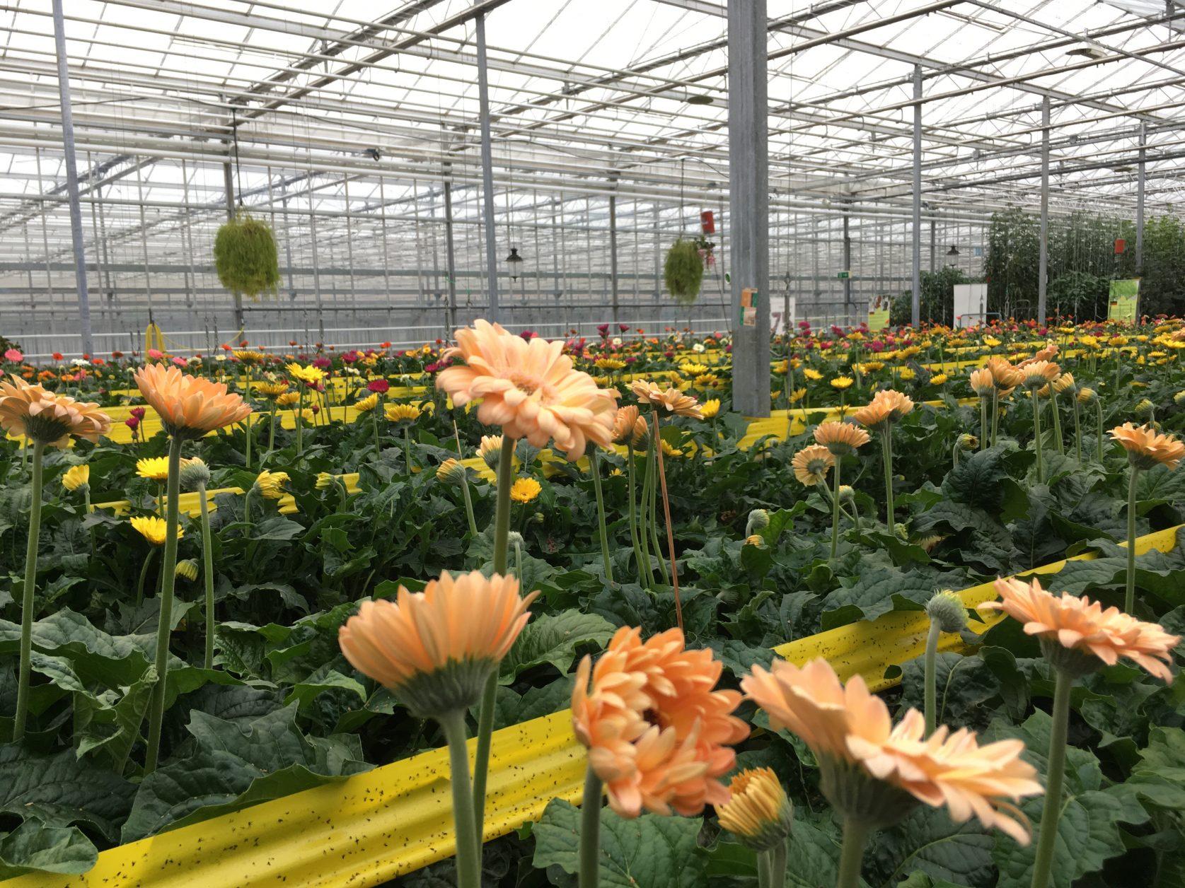 Blick in Europas größte Topf- und Beetpflanzengärtnerei Emsflower