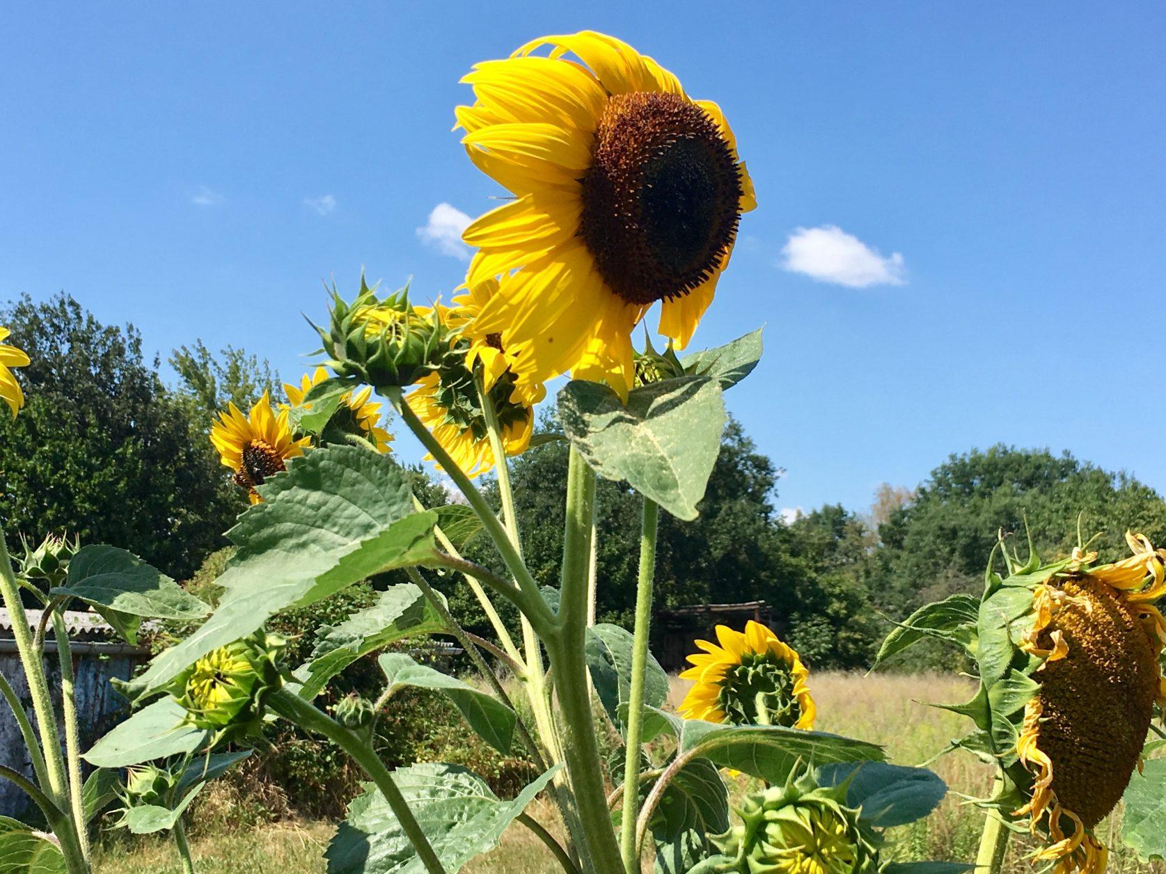 Marquardt Sonnenblume