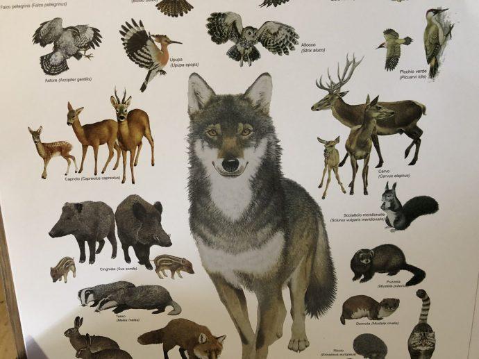 Der Wolf fühlt sich wohl