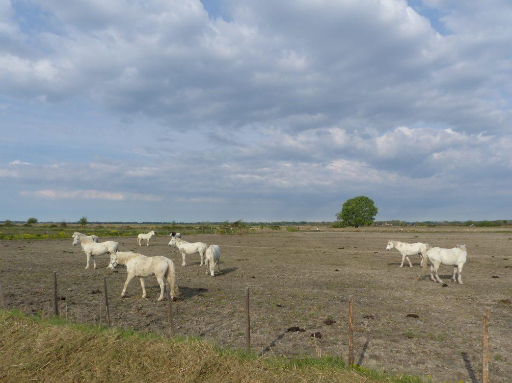 Die Camargue ist so ein Naturwunder: eiße Pferde
