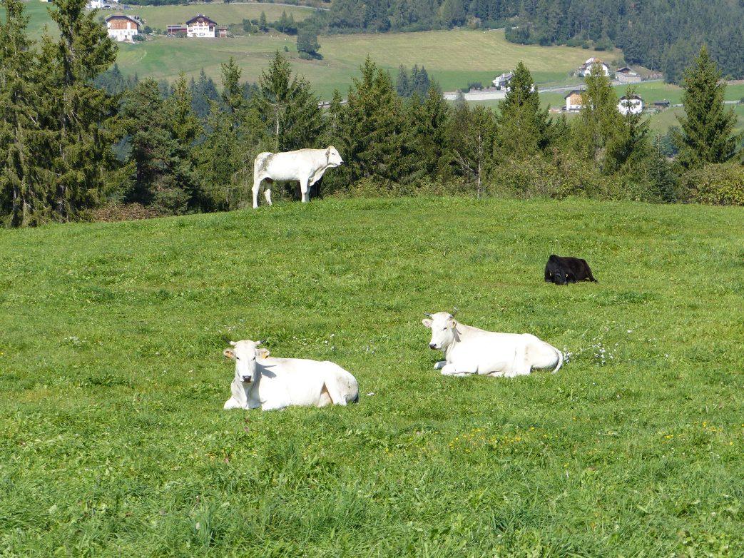 Rittner Bahn Südtirol Ritten Kühe