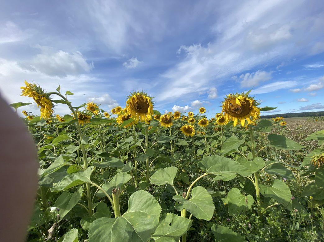 Masuren Polen Sonneblumen