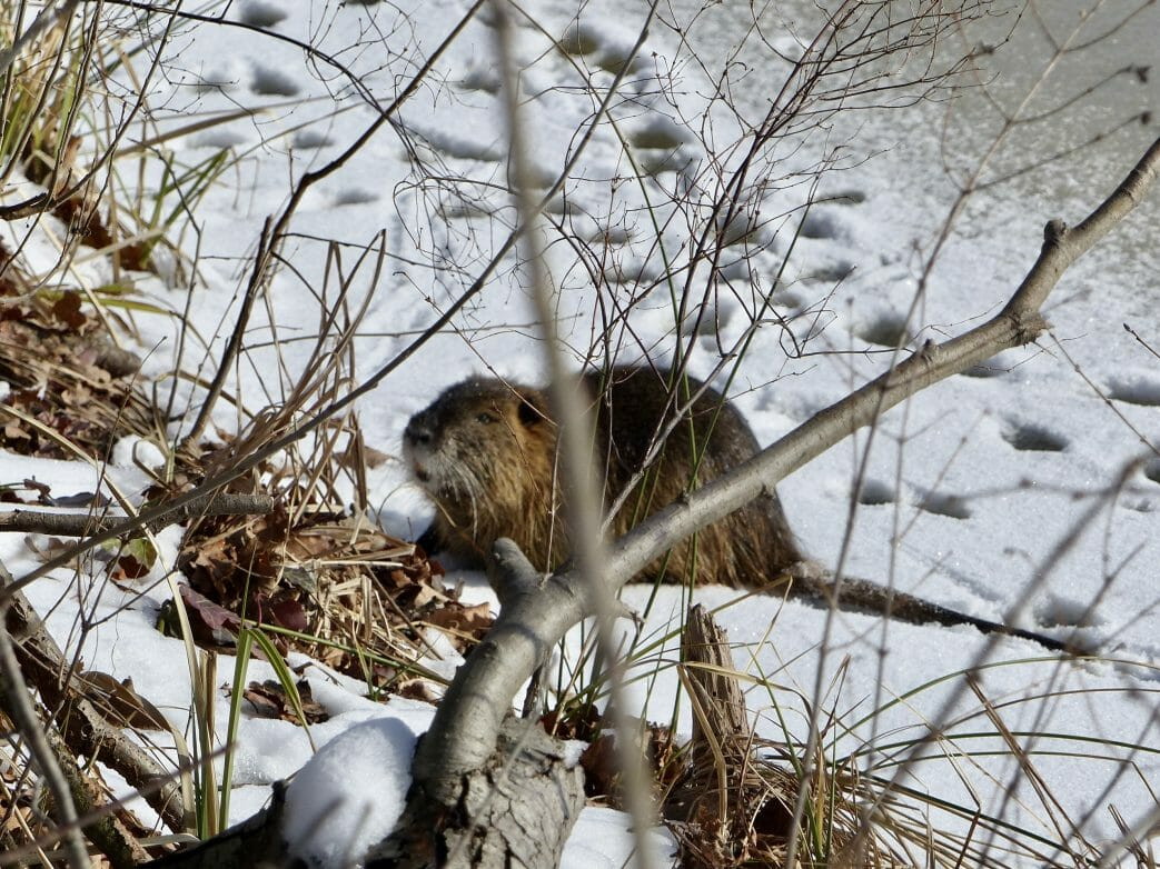 Biber, Winter, Park Marquardt